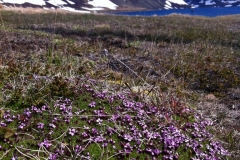 iceland-flowers